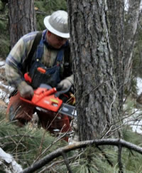 Cutting green infested pine beetle tree